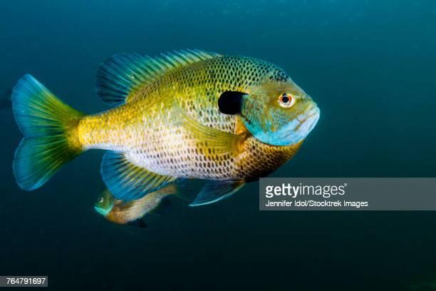 bluegill sunfish school in lake phoenix, virginia. - freshwater sunfish stock photos and pictures