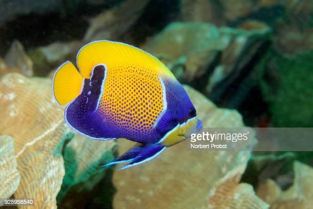 Blue-girdled angelfish (Pomacanthus navarchus) Raja Ampat Archipelago, Papua Barat, West New Guinea, Pacific Ocean, Indonesia