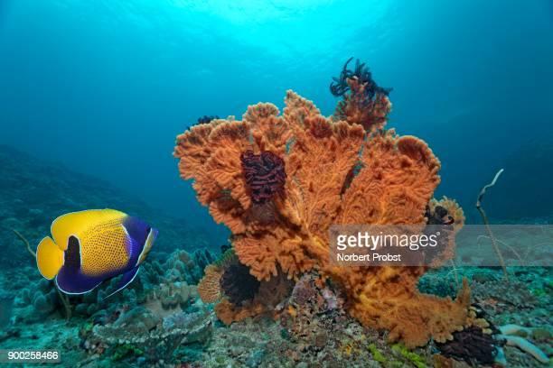 Blue-girdled angelfish (Pomacanthus navarchus), sea fan (Mopsella sp.) with feather star, Saparua, Maluku Islands, Banda Sea, Pacific Ocean, Indonesia