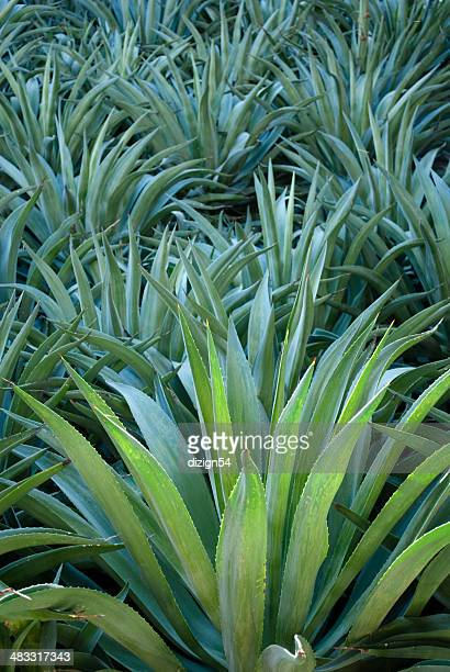 Blue-Green Agave