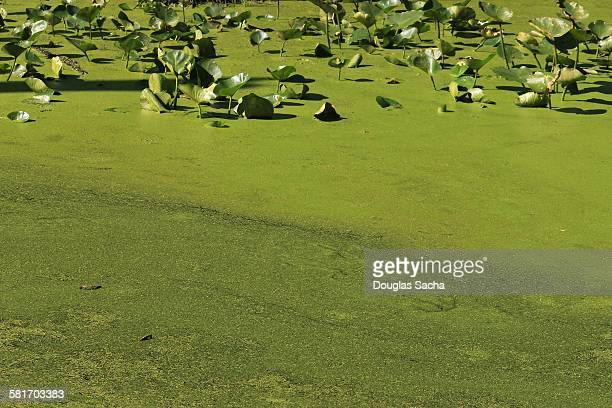 Blue-green algae rests on the water surface