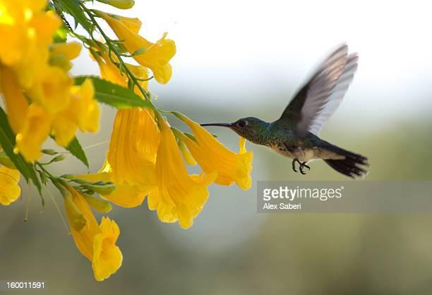 a blue-green hummingbird feeds from a flower. - alex saberi stock-fotos und bilder