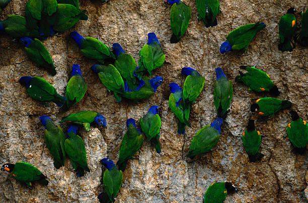 Blue-headed and Barraband's parrots, Manu National Park, Peru