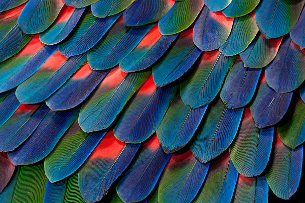 Blue-headed Pionus Tail Feather Design