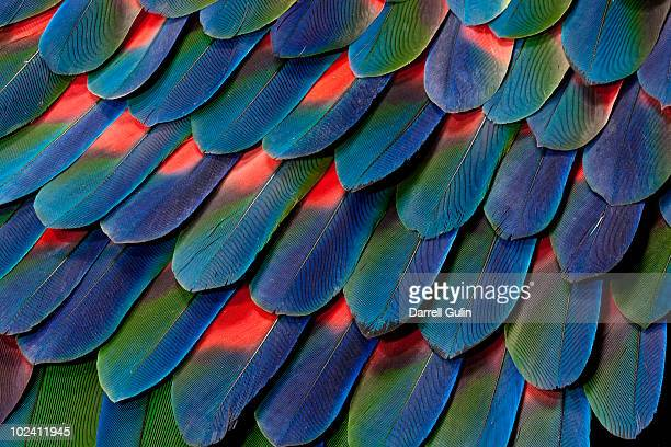 blue-headed pionus tail feather design - nature stock pictures, royalty-free photos & images