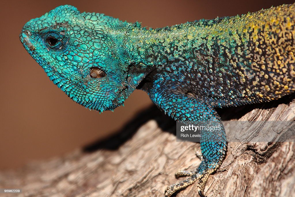 Blue-Headed Tree Agama : Stock-Foto