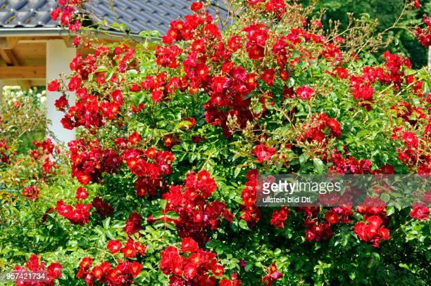 Bluehende Rosenstraeucher mit Rosa Alcantara im Hausgarten