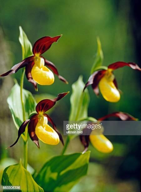 Bluehender Frauenschuh Cypripedium calceolus eine unserer schoensten heimischen Orchideen in einer geschuetzten Naturlandschaft des Thueringer Waldes