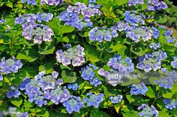 Bluehender Strauch der blauen Tellerhortensie Hydrangea macrophylla im Garten