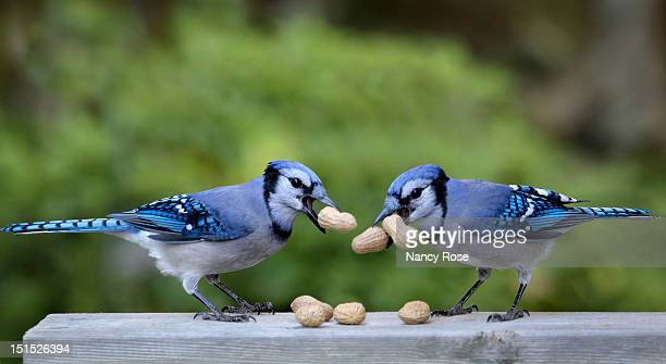Bluejay pair with peanuts