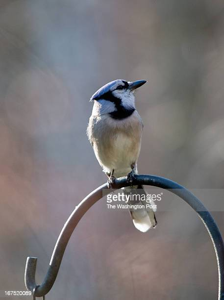 Bluejay rest above a bird feeder in Scott Birdwell's natural habitat garden in Annandale VA April 7 2013