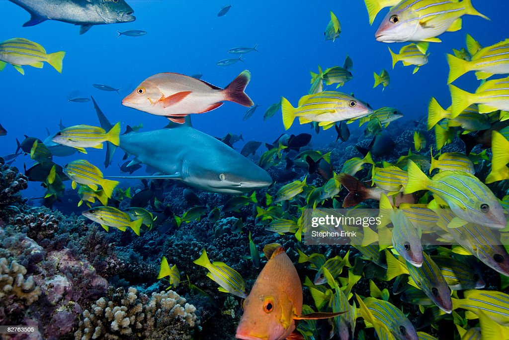 Blue-lined Snapper Avoid Gray Reef Shark : Stock Photo