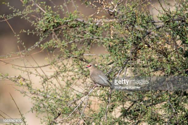 Bluenaped mousebird in the Samburu National Reserve in Kenya