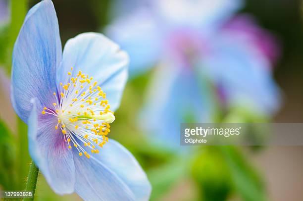 amapola azul (meconopsis) - ogphoto fotografías e imágenes de stock