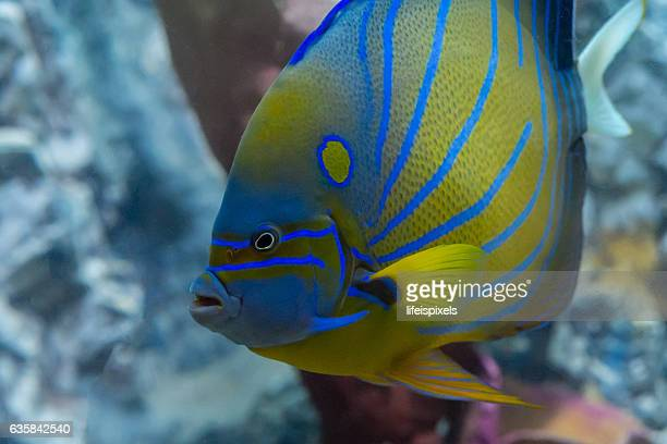blueringed angelfish - lifeispixels stock pictures, royalty-free photos & images