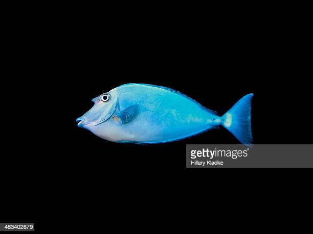 bluespine unicorn tang - one animal stock pictures, royalty-free photos & images