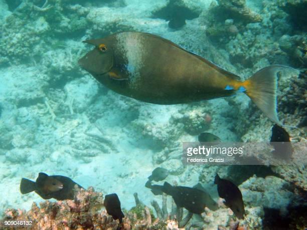 Bluespine Unicornfish or Short-Nose Unicornfish (Naso unicornis)