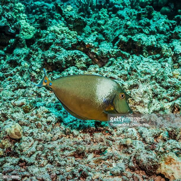 Bluespine Unicornfish (Naso unicornis) over coral rubble