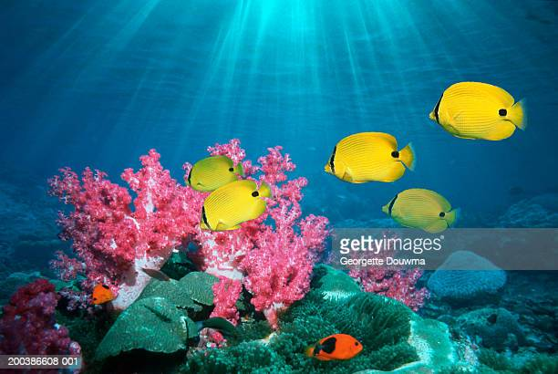 bluespot butterflyfish (chaetodon plebeius) (digital composite) - reef stock pictures, royalty-free photos & images