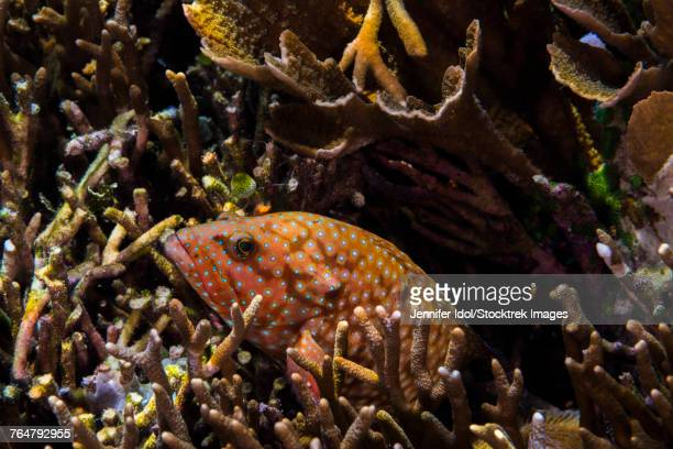 Bluespotted grouper in reef in Raja Ampat, Indonesia.