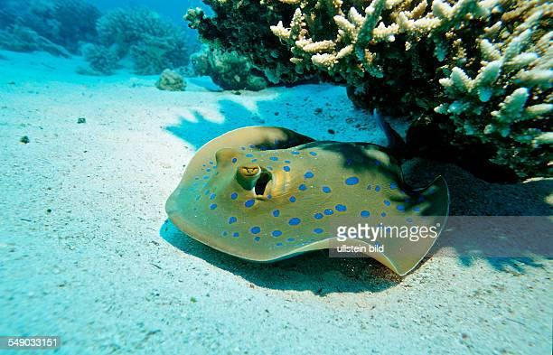 Bluespotted ribbontail ray, Taeniura lymma, Egypt, Africa, Sinai, Sharm el Sheik, Red Sea