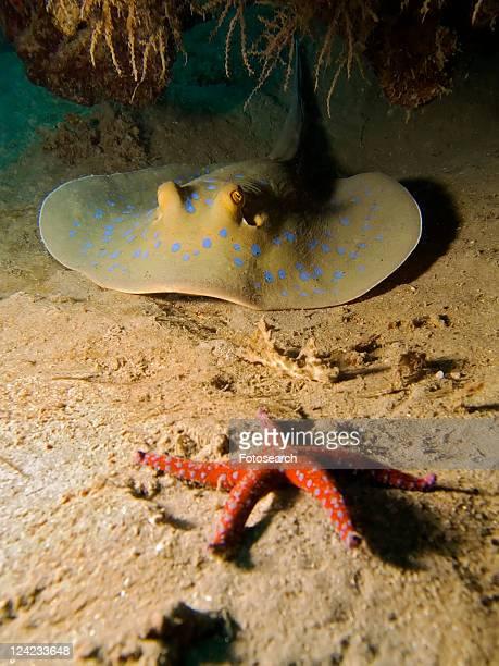 Bluespotted stingray (Taeniura lymma) and Ghardaqa sea star (Fromia ghardaqana). Na'ama Bay, Sharm El Sheikh, South Sinai, Red Sea, Egypt.