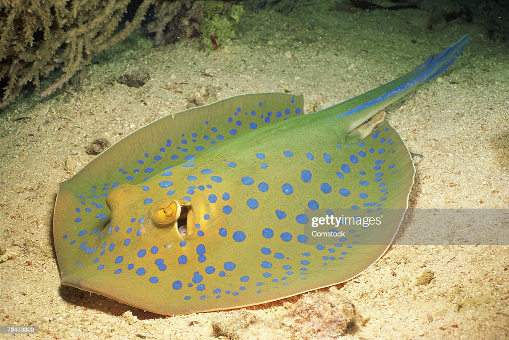 Blue-spotted stingray on ocean floor : Stockfoto