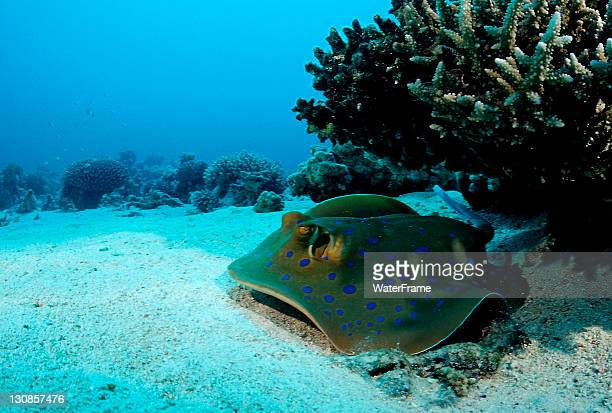 Blue-spotted stingray (Taeniura lymma) under a table coral, Nuweiba, Sinai, Red Sea, Egypt, Africa