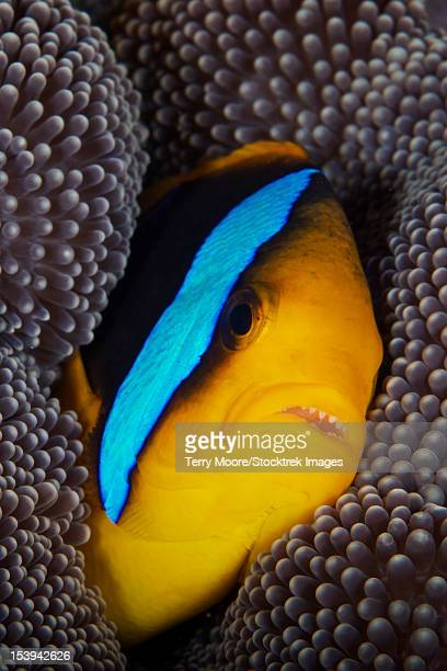 bluestripe clownfish tucked away in its anenome host, fiji. - orange fin clownfish stock photos and pictures