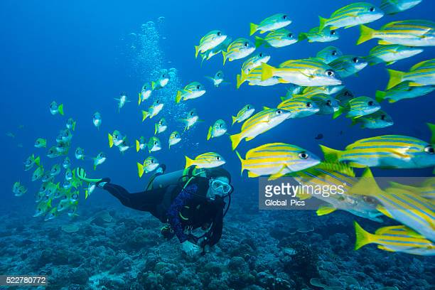 Bluestripe Snapper and diver - Palau