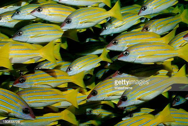 bluestripe snapper (lutjanus kasmira), maldives island, indian ocean - yellow perch stock photos and pictures