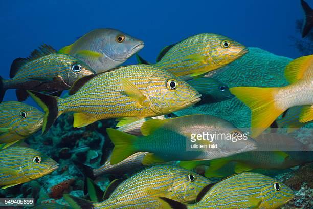 Bluestriped Grunt and Schoolmaster Haemulon sciurus Lutjanus apodus Cozumel Caribbean Sea Mexico