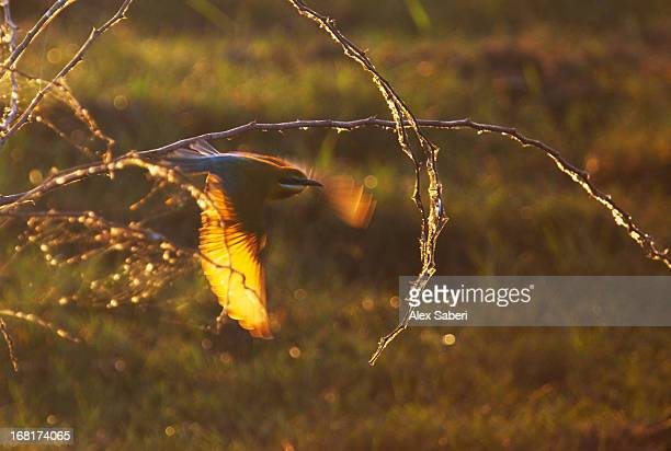 a blue-tailed bee-eater, merops philippinus, flying at sunset. - alex saberi foto e immagini stock