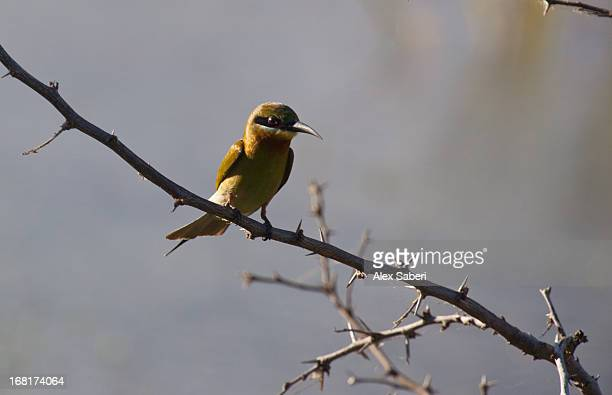 a blue-tailed bee-eater, merops philippinus, perching on a branch. - alex saberi imagens e fotografias de stock