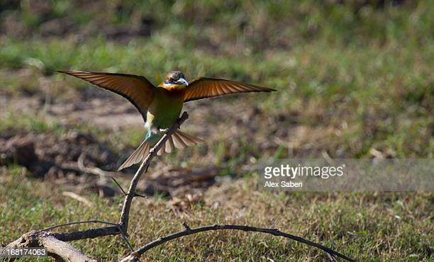 a blue-tailed bee-eater, merops philippinus, spreading its wings. - alex saberi imagens e fotografias de stock