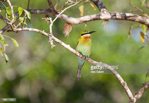 a blue-tailed bee-eater perching on a branch in yala national park. - alex saberi stock pictures, royalty-free photos & images