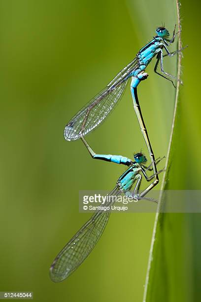 Blue-tailed damselflies (Ischnura elegans) mating