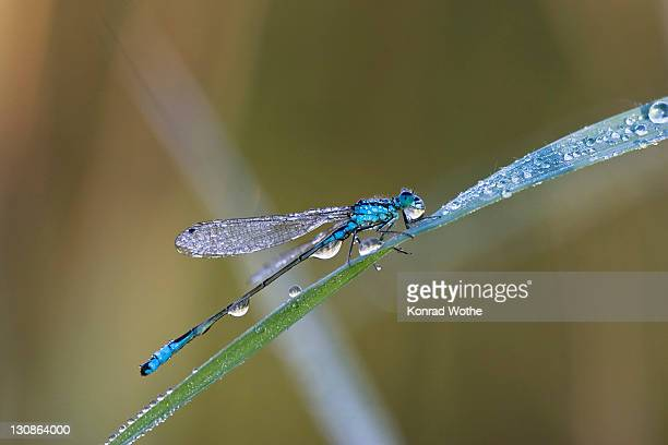 blue-tailed damselfly (ischnura elegans) with dew drops, bavaria, germany, europe - caenorhabditis elegans stock pictures, royalty-free photos & images