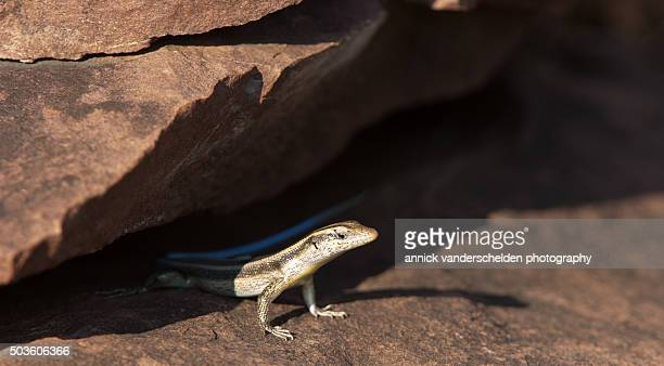Blue-tailed Sandveld Lizard