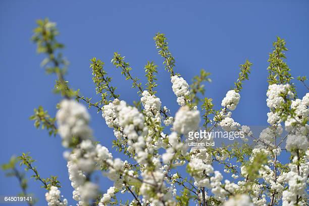 Bluete Zierkirsche / Blüte