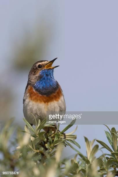 Bluethroat (Luscinia svecica), calling, Texel, The Netherlands
