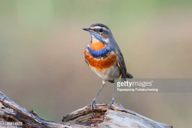 bluethroat luscinia svecica beautiful male birds of thailand - perching stock pictures, royalty-free photos & images