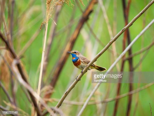 bluethroat on the twig - nightingale stock pictures, royalty-free photos & images
