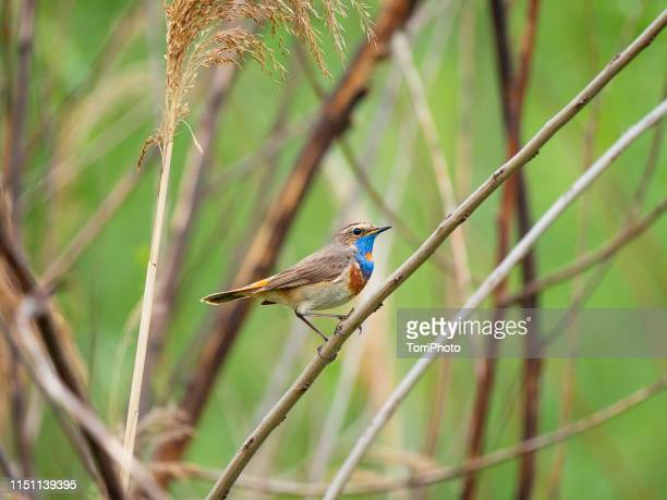 bluethroat on the twig - nightingale bird stock pictures, royalty-free photos & images