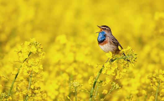 bluethroat singing in a rape field 588575014
