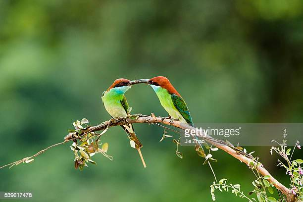 Bluethroated beeeaters play on the branch near Poyang Lake in Jiujiang Jiangxi province China on 11th May 2015