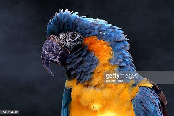 Blue-throated Macaw head shot