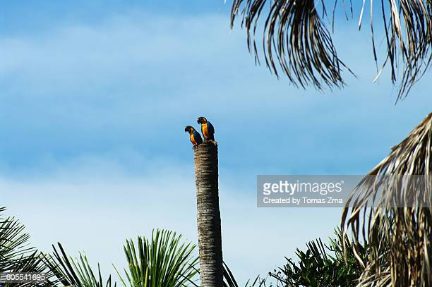 blue-throated macaws take a rest - macaw stock pictures, royalty-free photos & images
