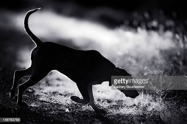 bluetick coonhound - coonhound stock pictures, royalty-free photos & images