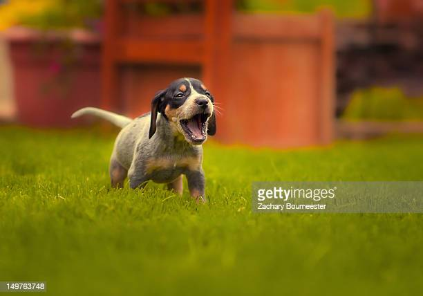 bluetick coonhound puppy - coonhound stock pictures, royalty-free photos & images